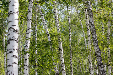 The white trunk of a birch on a background of green leaves