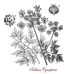 Vintage print of Aethusa cynapium or poison parsley, common poisonous herb with white inflorescences and an unpleasant smell