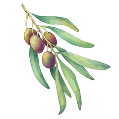 Olive branch with ripe fruit and leaves. Realistic illustration of green olives. Watercolor hand drawn painting isolated on a white background.  For texture, wrapper, pattern, frame, border.