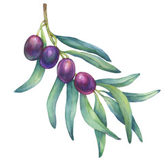 Olive branch with ripe fruit and leaves. Realistic illustration of black olives. Watercolor hand drawn painting isolated on a white background.  For texture, wrapper, pattern, frame, border.