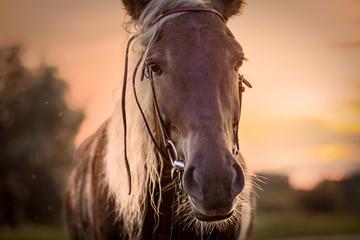Closeup horse frontal view