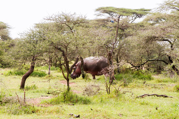 The common hippopotamus (Hippopotamus amphibius), or hippo, is a large, mostly herbivorous, semiaquatic mammal native to sub-Saharan Africa in Serengeti National Park, Tanzania