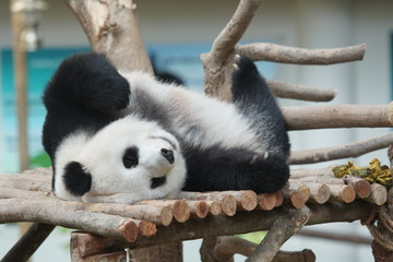 A cute panda take a nap on the woods
