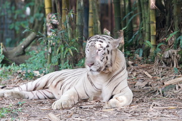 Big white male bengal tiger (Panthera tigris). The tiger has the black stripes typical of the Bengal tiger, but carries a white or near-white coat.
