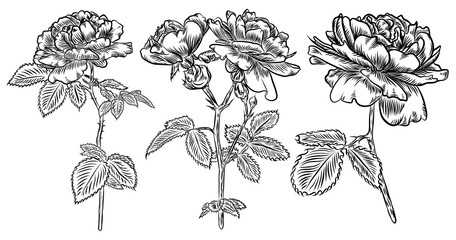 Flowers set. Hand drawn rose. Roses collection for decoration. Vector.