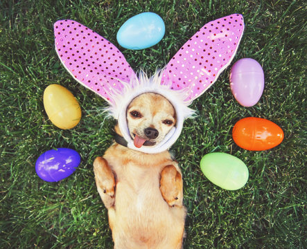 authentic photo of a cute chihuahua with rabbit ears on and his tongue out surrounded by easter eggs toned with a retro vintage filter