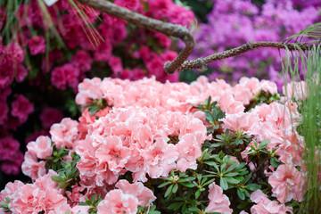 Flowering Azalea pink