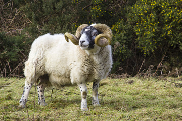 A large ram with twisted horns grazing on winter pasture in the rugged Mourne Mountains in County Down in Northern Ireland
