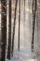 rays of light in the winter wood