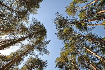 Perspective view from below on pine trees in boron against blue sky in summer