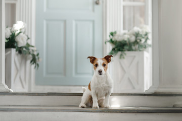 Dog Jack Russell Terrier on the porch
