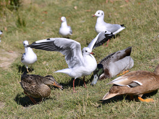 Closeup Black-headed Gulls (Larus ridibundus) and ducks on grass in Arcachon Bay in France
