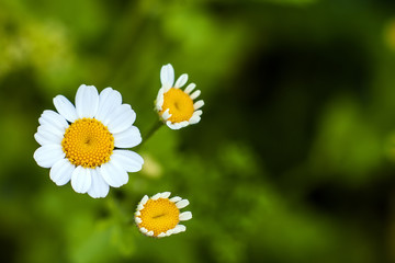 Close up little white daisy flowers