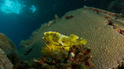 Leaf Fish Papua New Guinea