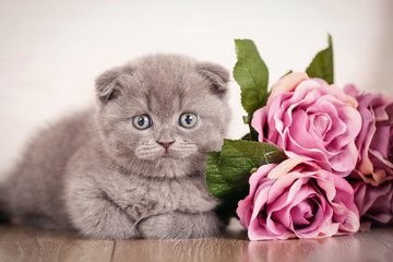 Cat Scottish Fold Kitten picture for a calendar with cats