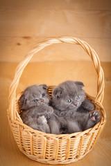 Funny little Scottish fold kittens sitting in basket
