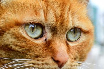 Eyes of a  orange cat