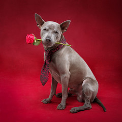 beautiful thai ridgeback dog in tie holding rose flower