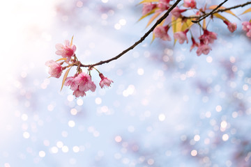 Wall Mural - Beautiful sakura flower (cherry blossom) in spring. sakura tree flower on blue sky with blur light bokeh.
