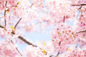 Autocollant pour porte Fleur de cerisier サクラ