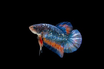 Short Tail Betta Fish Splendens , Siamese Fighting Fish Blue x Red Color Isolated on Black Background