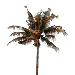 coconut tree isolated on white background with Clipping Path