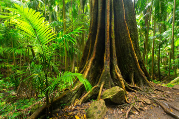 A strangler fig in the Tamborine National Park in the Gold Coast Hinterland