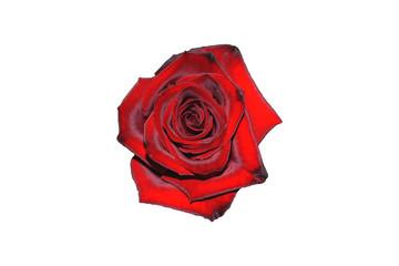 Red shiny rose flower isolated on white background
