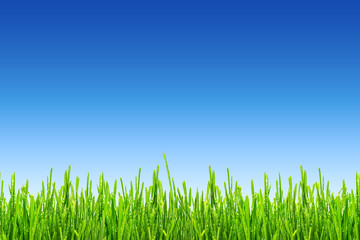 fresh spring green grass with drops of dew on blue sky background