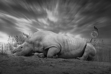 Wilderei - totes Nashorn