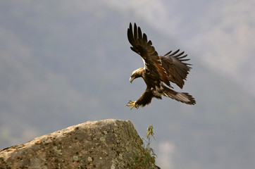 Spanish Imperial Eagle. Aquila adalberti Wall mural