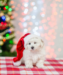 bichon frise puppy in red santa hat sitting on a background of the Christmas tree and  winking