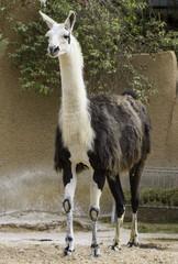 Beautiful lama animal in zoo, white and brown