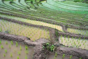 transplant rice terrace seedlings field in Ban Pa Bong Piang, Chiagmai, Thailand.