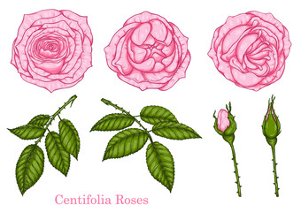 Rose vector set by hand drawing.Beautiful flower on white background.Rose art highly detailed in line art style.centifolia rose for wallpaper