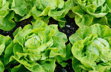 The Benefits of Growing Your Own Butter Lettuce