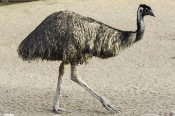 Emu walking on dry land