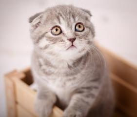 Lop-eared kitten, Scotland cat
