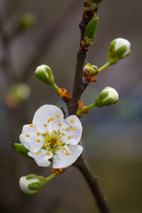 Blossoming branch with flower of cherry