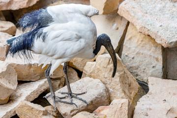 Black-headed ibis or Oriental white ibis (Threskiornis melanocephalus), Ibis bird