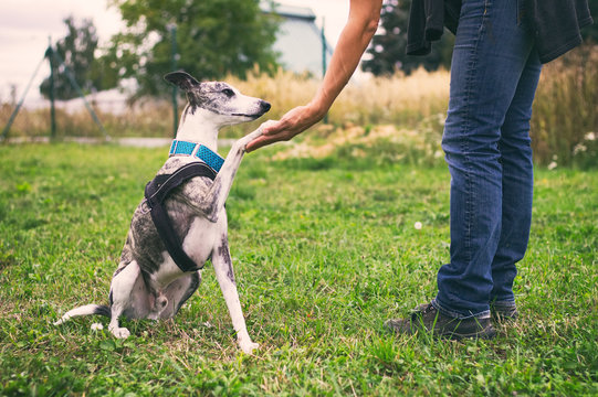 Woman holding her dog's paw in training, whippet dog during a training