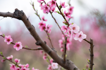 Peach and cherry blossom in spring