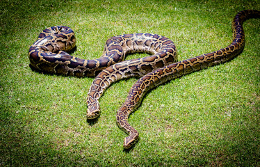 Burmese python background. Two pythons on grass