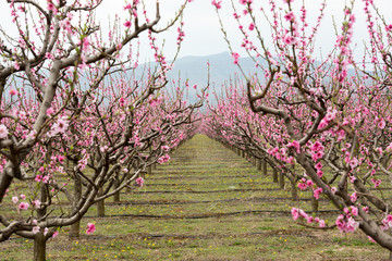 Blossom of peach trees in orchard