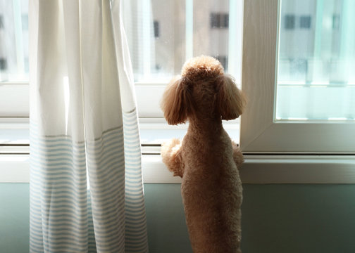Poodle dog staring outsideover the window in apartment