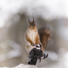 Red squirrel sitting on a snowmobile