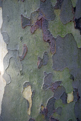 Camouflage Pattern of bark of a platanus tree