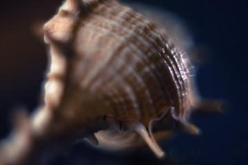Shell on dark blue background. Soft focus