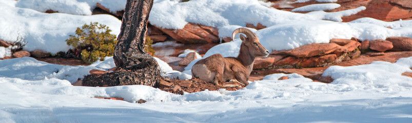 Bighorn Sheep ram (ovis canadensis) laying down on sunny winter day in Zion National Park in Utah United States