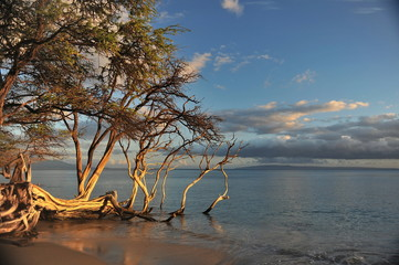 Hawaii.Maui.Graceful tree on the shore of the Pacific Ocean in the rays of the setting sun